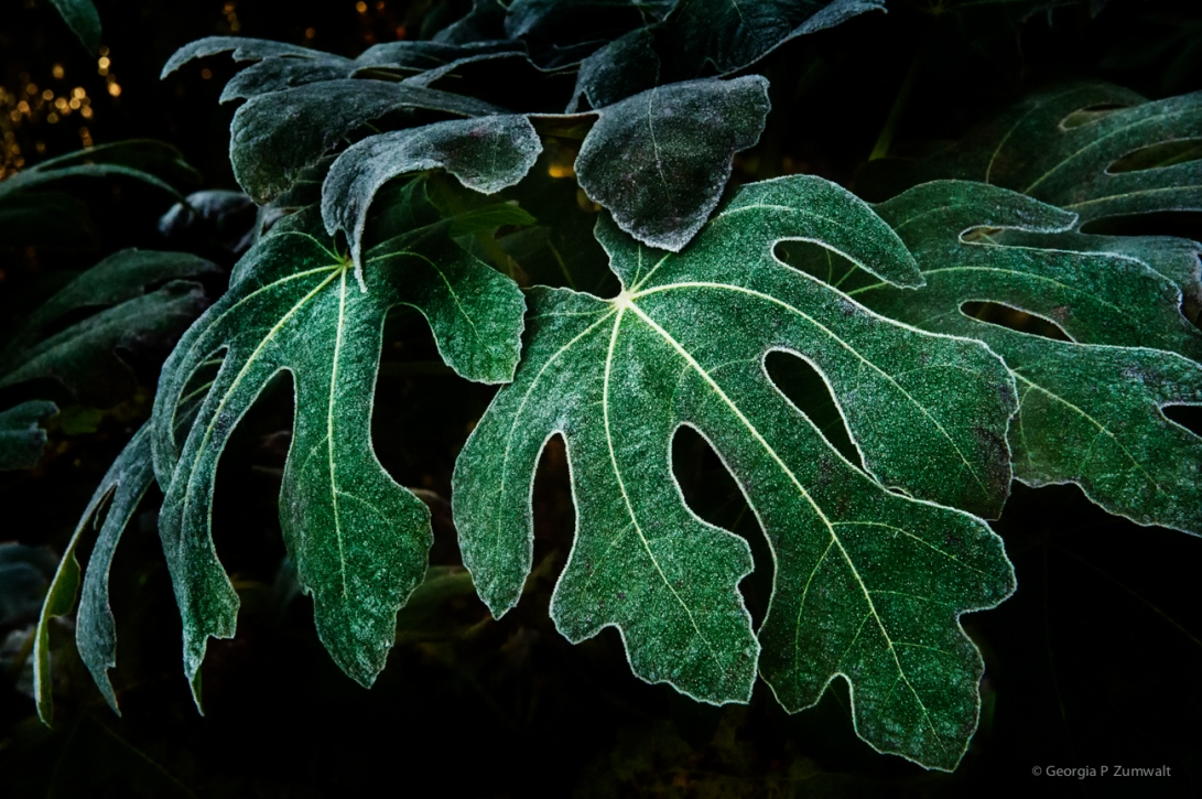 Frozen Fig Leaves